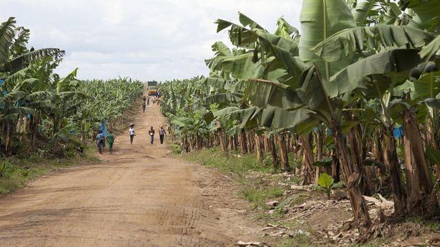 La plantation de bananes de Mondoni, au Cameroun