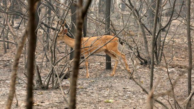 Jelen šeta po spaljenoj šumi kod Redinga u Kaliforniji