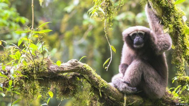 Skywalker hoolock gibbonu