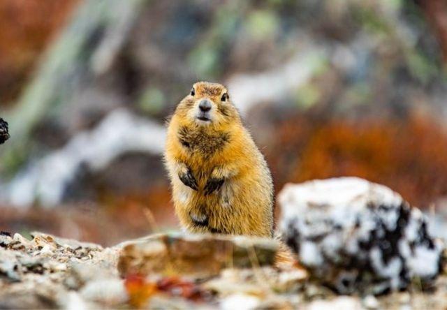 北極地松鼠躲在地下熬過嚴寒。
