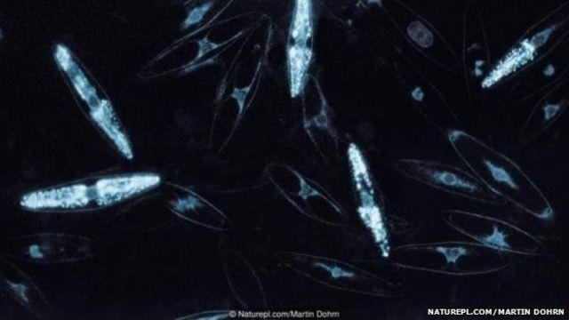 या जीवांमुळे समुद्राचा पृष्ठभाग चमकत असतो.