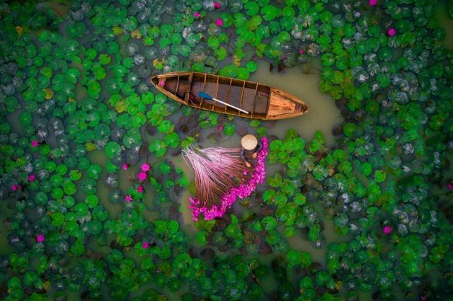 A picture of a woman harvesting water lilies in a pond in the Mekong Delta in Vietnam