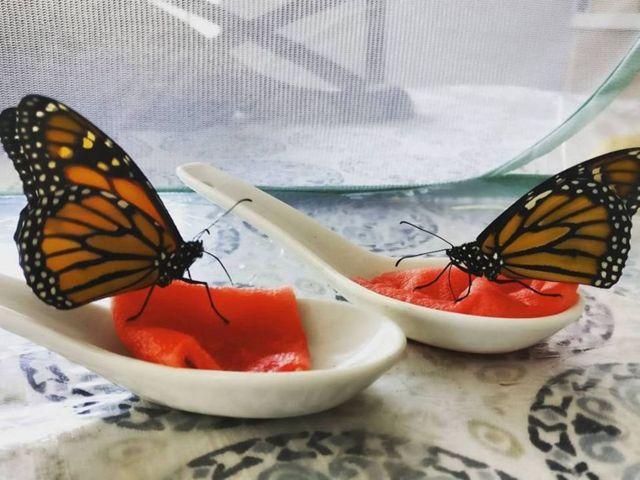 Метелики їдять фрукти