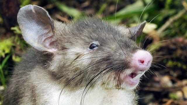Hog-nosed rat in Indonesia