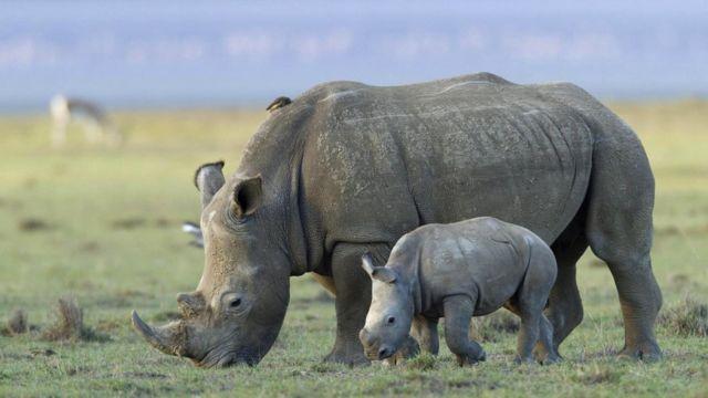 На носорогов часто охотятся из-за их рогов