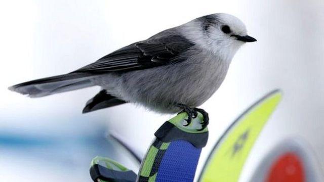 कनाडा का राष्ट्रीय पक्षी