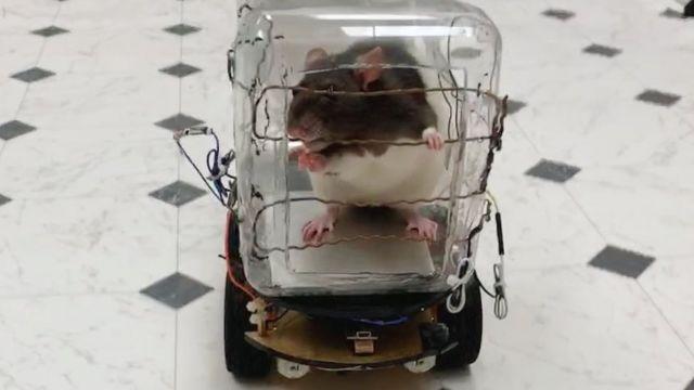 Rat dans une petite voiture en plastique