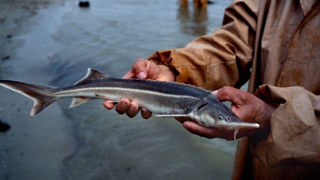 mersin balığı