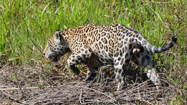 Jaguar (Foto: BERNARD DUPONT/WIKIMEDIA COMMONS)