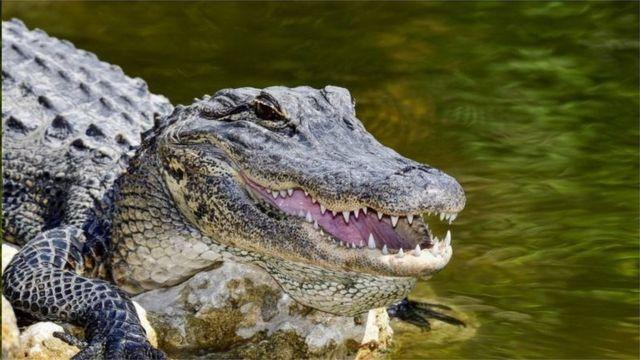 鳄鱼吸入氦气声音产生何种变化?