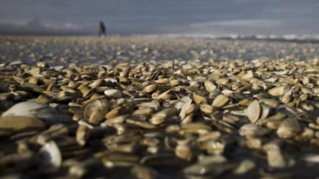 Dead clams in Chile shoreline