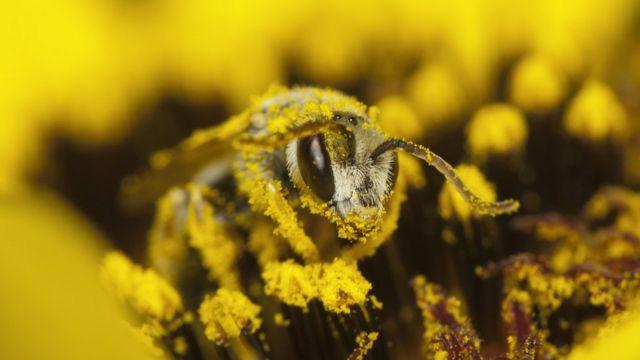 Foto próxima de abelha sobre flor, repleta de pólen