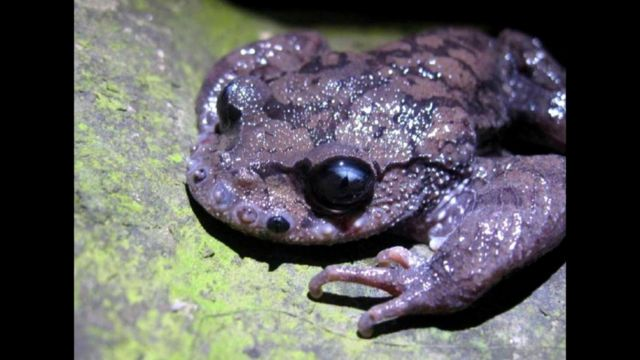 Жаба Leptobrachium boringii (чесночница усатая)