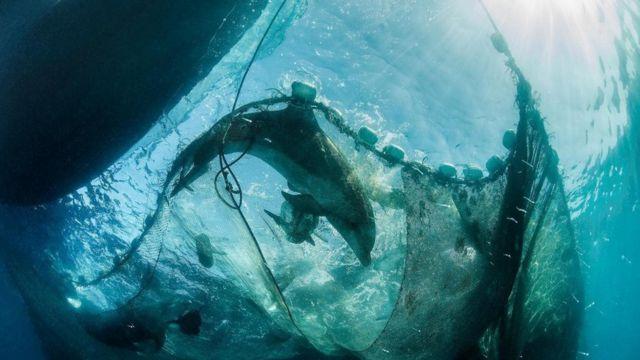 شبكة وقع بها أحد الحيوانات من الثدييات البحرية