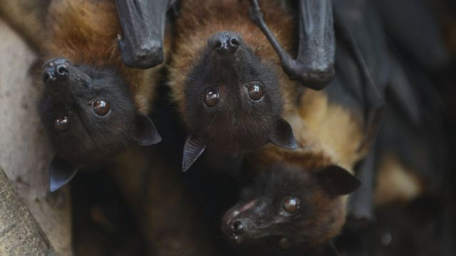 Bats cling onto the branches of a banyan tree