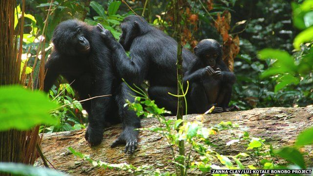 bonobo family perched on a log