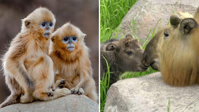 O macaco-dourado de nariz arrebitado (à esquerda) e a cabra gnu, ou Takin (à direita)
