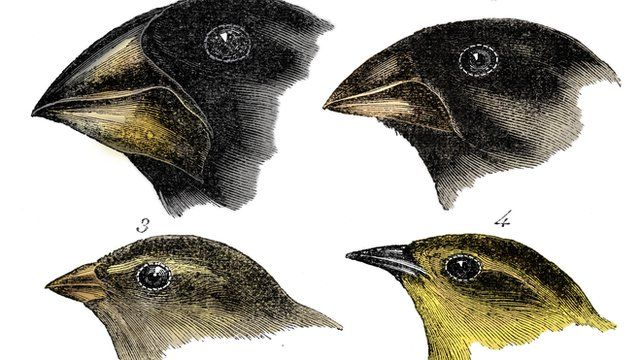 Dessin de quatre espèces de pinsons observés par Darwin aux îles Galápagos