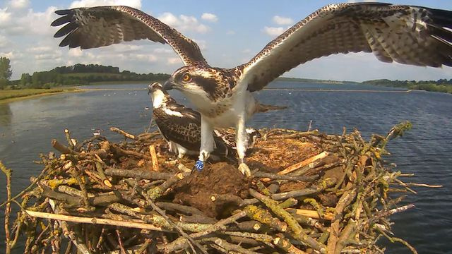 The 100th and 101st chicks to fledge at Rutland Water