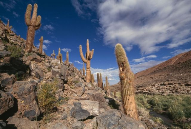 Cactus echinopsis en el desierto chileno.