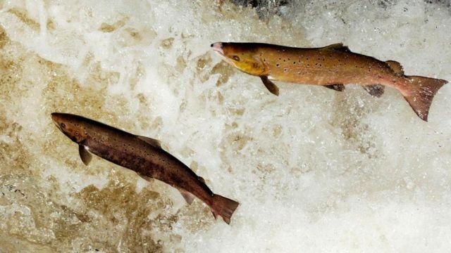 Семга переносит питательные вещества вверх по реке