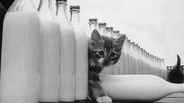 Un gato entre botellas de leche.