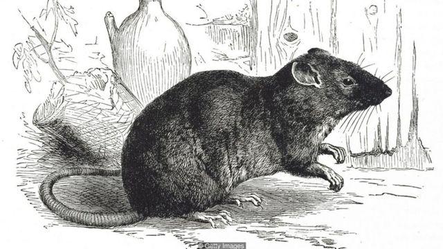Ratazana ilustrada em gravura do século 19