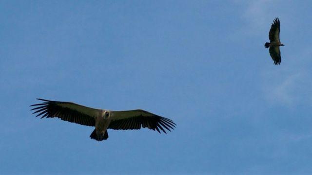 在维多利亚瀑布看秃鹫越来越受欢迎,现在每天都挤满了人。