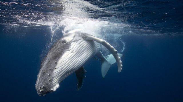 Imagem mostra baleia nadando