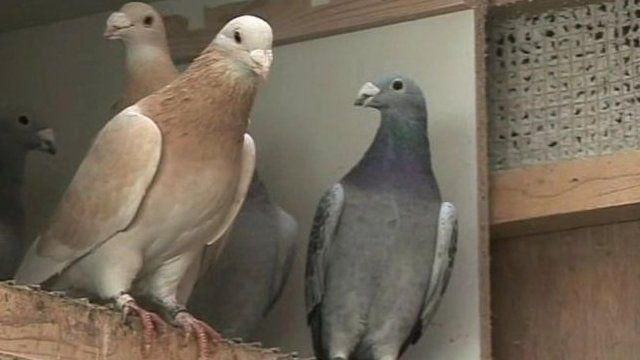 The High Court in Belfast was told up to 15 hounds broke into privately-owned pigeon lofts and aviaries and attacked highly sought after homing pigeons