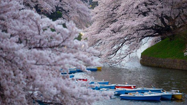 Сакура в Японії зацвіла найраніше за 1 200 років. Фото