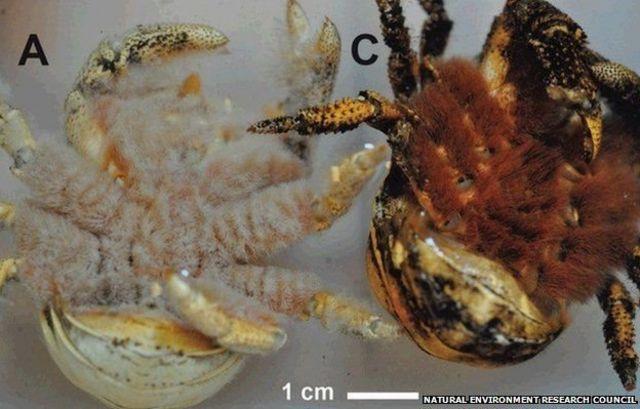 """Parte ventral del cangrejo conocido como """"El Hoff"""""""