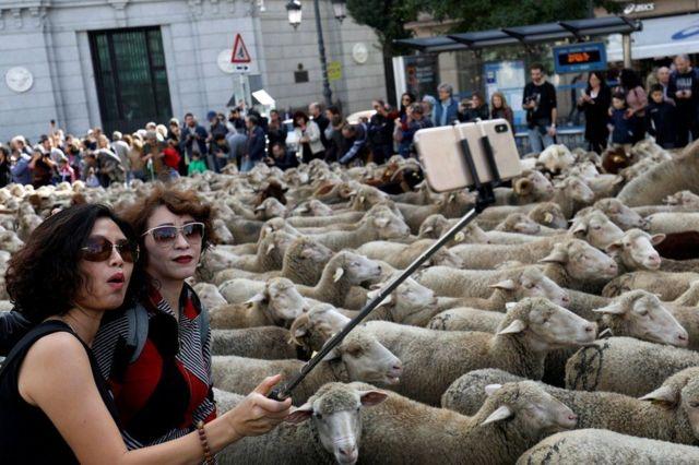 စပိန်နိုင်ငံ မက်ဒရစ်မြို့ထဲ နှစ်စဉ် တိရစ္ဆာန်တွေ စီတန်းလှည့်လည်နေရာမှာ သိုးအုပ်နဲ့ Selfie ရိုက်နေတဲ့ အမျိုးသမီး နှစ်ဦး။