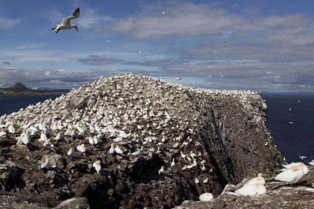 Остров Басс-рок с колонией северных бакланов