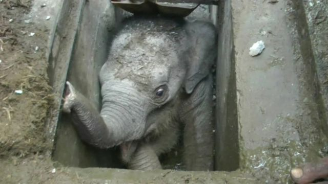 An elephant calf trapped in a drain in Sri Lanka