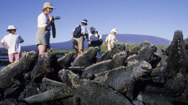 厄瓜多尔加拉帕戈斯群岛上的绿鬣蜥在海滩上和游客争夺地方