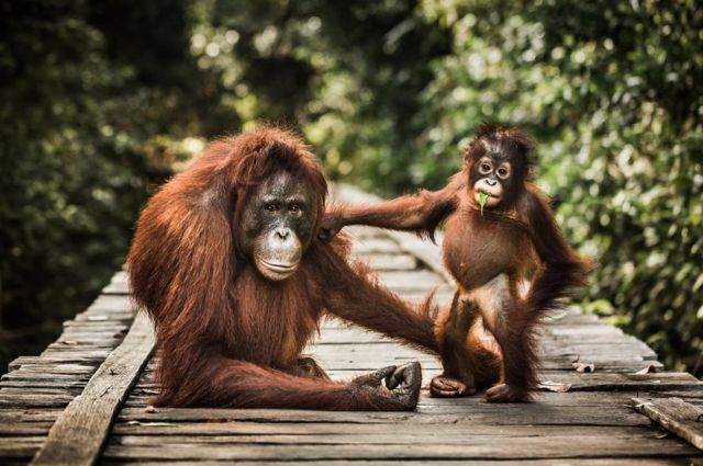 قردان من فصيلة الشمبانزي
