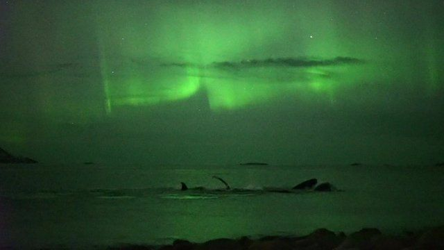 whales under the northern lights