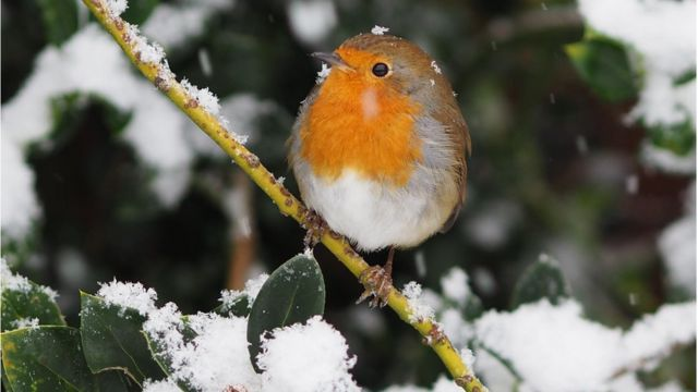Robin, Great Wyrley, Staffordshire