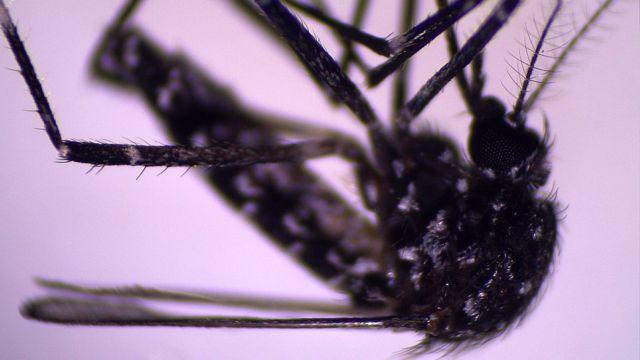 Mosquito Aedes vittatus