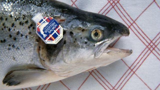 ในบางครั้งเราจะสังเกตเห็นปรสิตลักษณะคล้ายกับตุ่มซีสต์แทรกอยู่ในเนื้อปลาแซลมอนได้