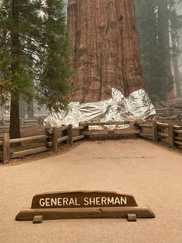 General Sherman's base wrapped in an aluminum blanket