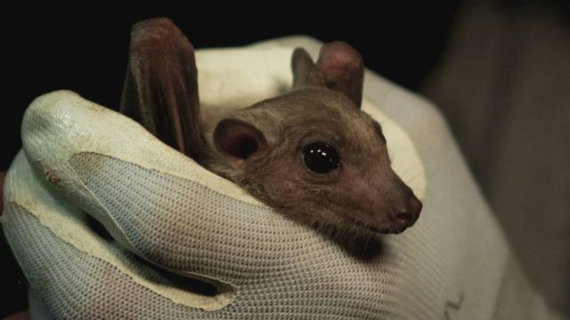 خفاش مصري