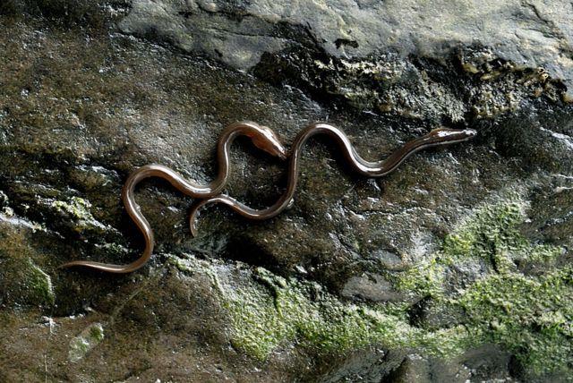 Enguias escalando um muro no País de Gales.