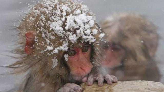 ลิงหิมะในญี่ปุ่น