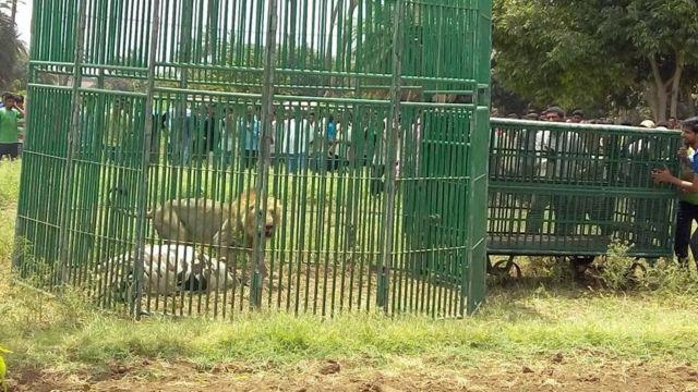 Leão na jaula