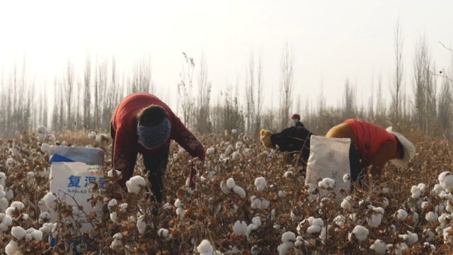 Cotton pickers in Xinjiang