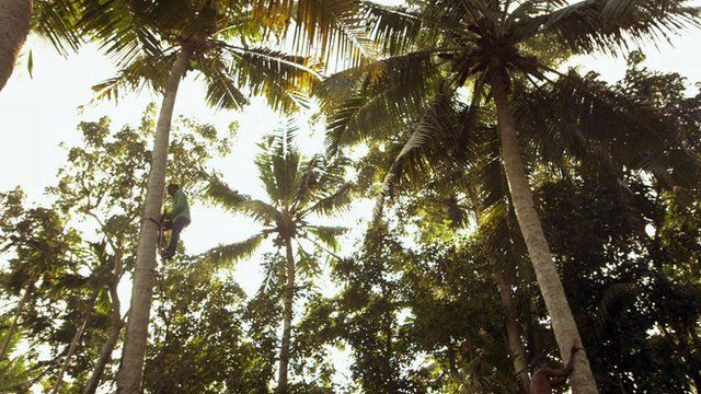 Men climbing coconut trees