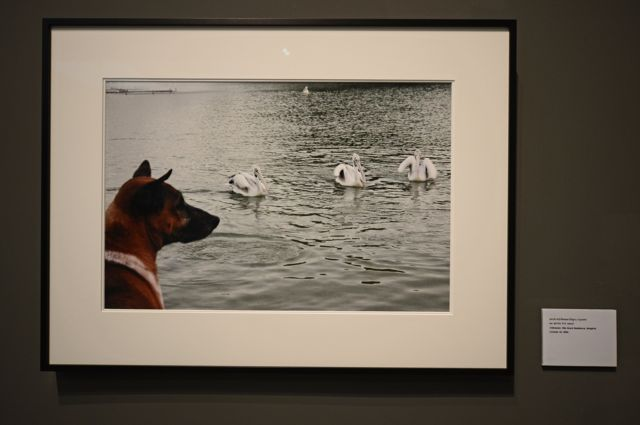 ภาพถ่ายคุณทองแดง สุนัขทรงเลี้ยง ที่พระตำหนักจิตรลดารโหฐาน ฝีพระหัตถ์พระบาทสมเด็จพระปรมินทรมหาภูมิพลอดุลยเดช เมื่อวันที่ 24 ต.ค. 2547