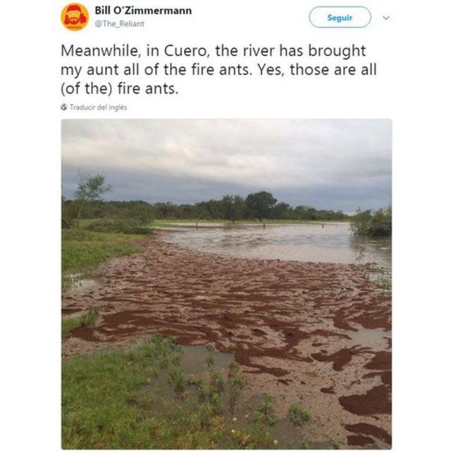 hormiga de fuego